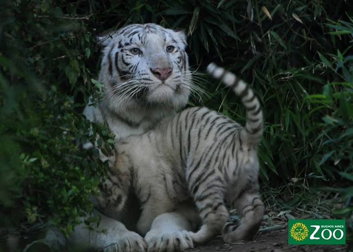 tigres-blancos1