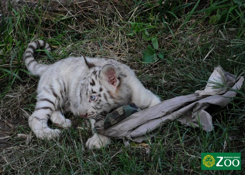 tigres-blancos10