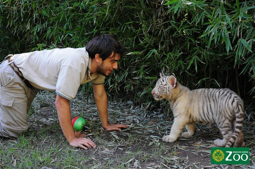 tigres-blancos2