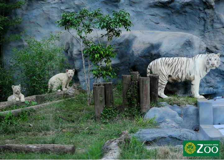 tigres-blancos3