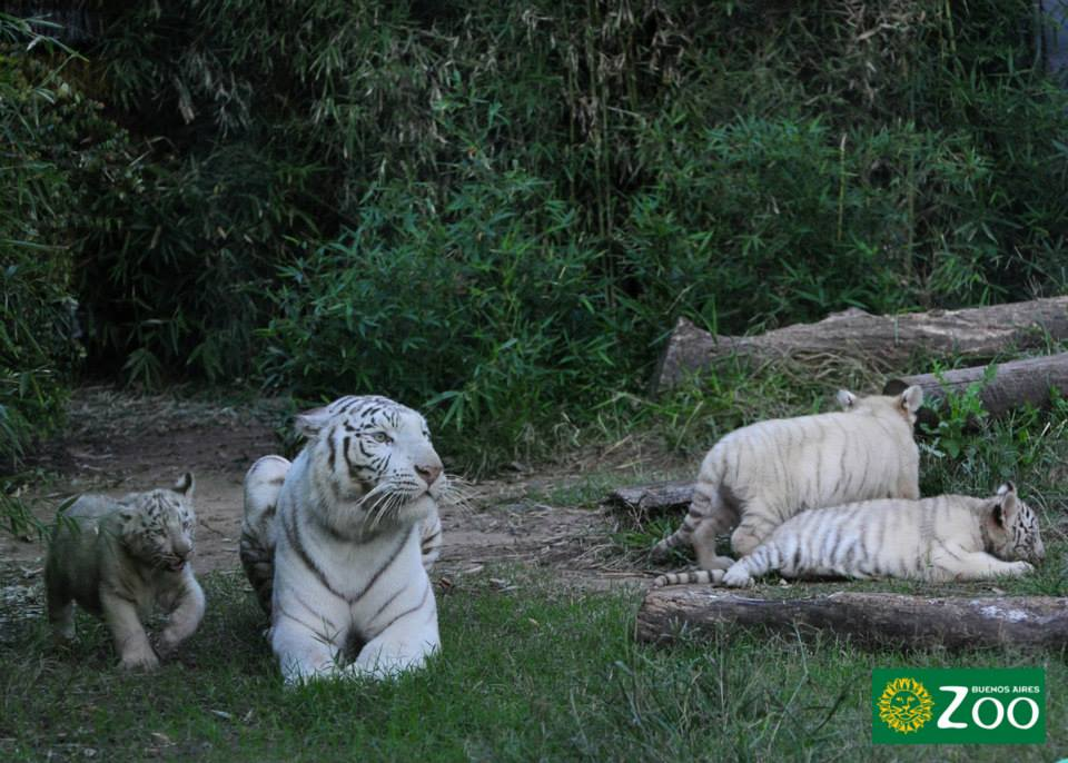 tigres-blancos4
