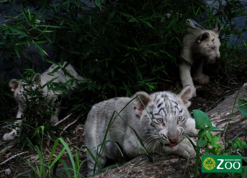 tigres-blancos5