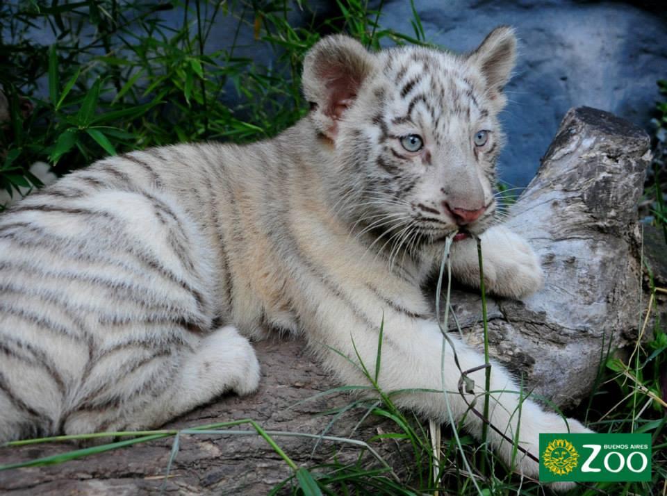 tigres-blancos6