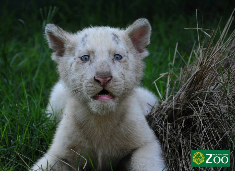 tigres-blancos7