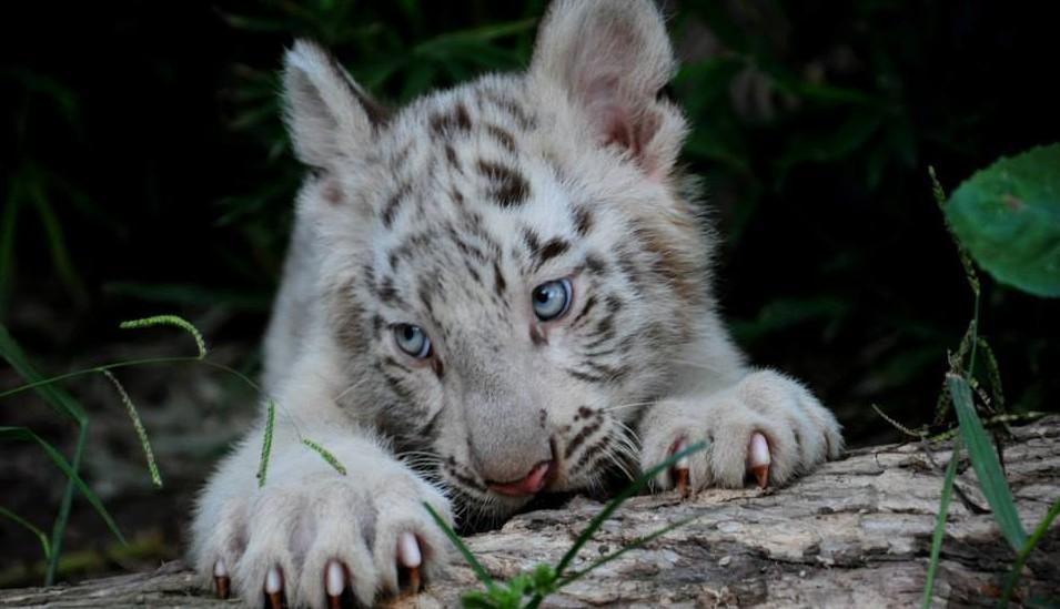 tigres-blancos8