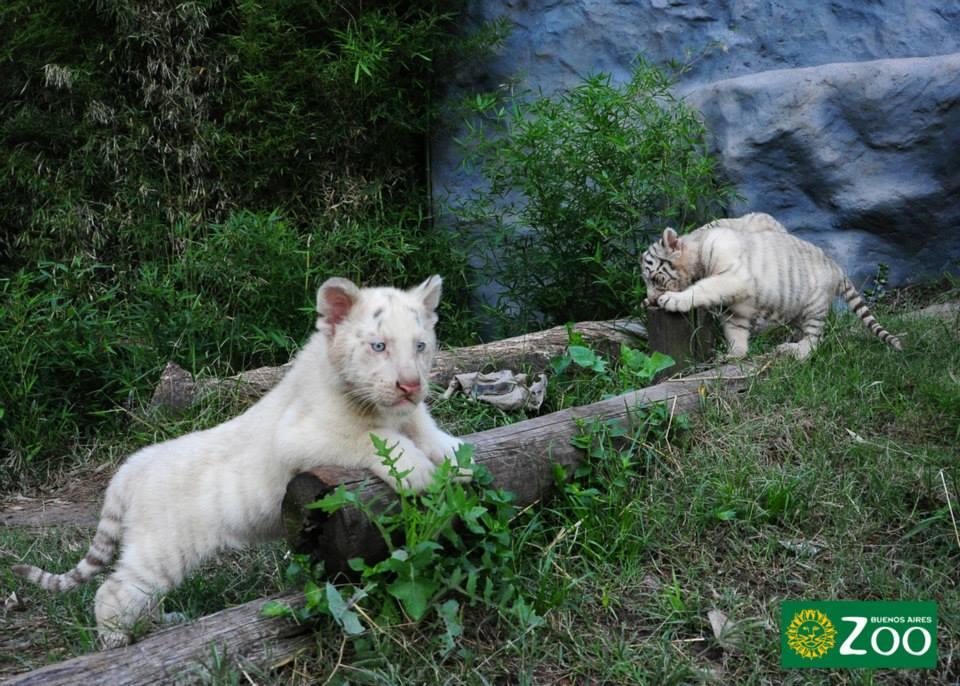 tigres-blancos9