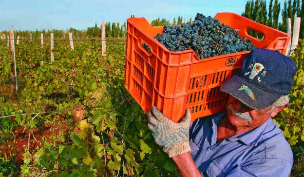 cosecha-vitivinicola