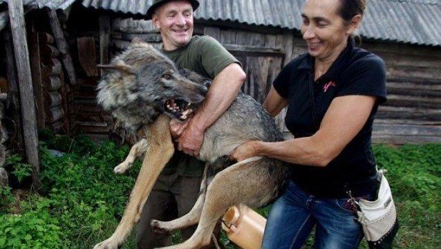 lobos-mascotas4