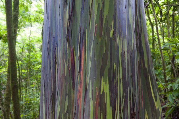 Eucalipto-arco-iris-el-arbol-mas-lindo-del-mundo1