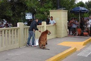 massa_tigre_animal