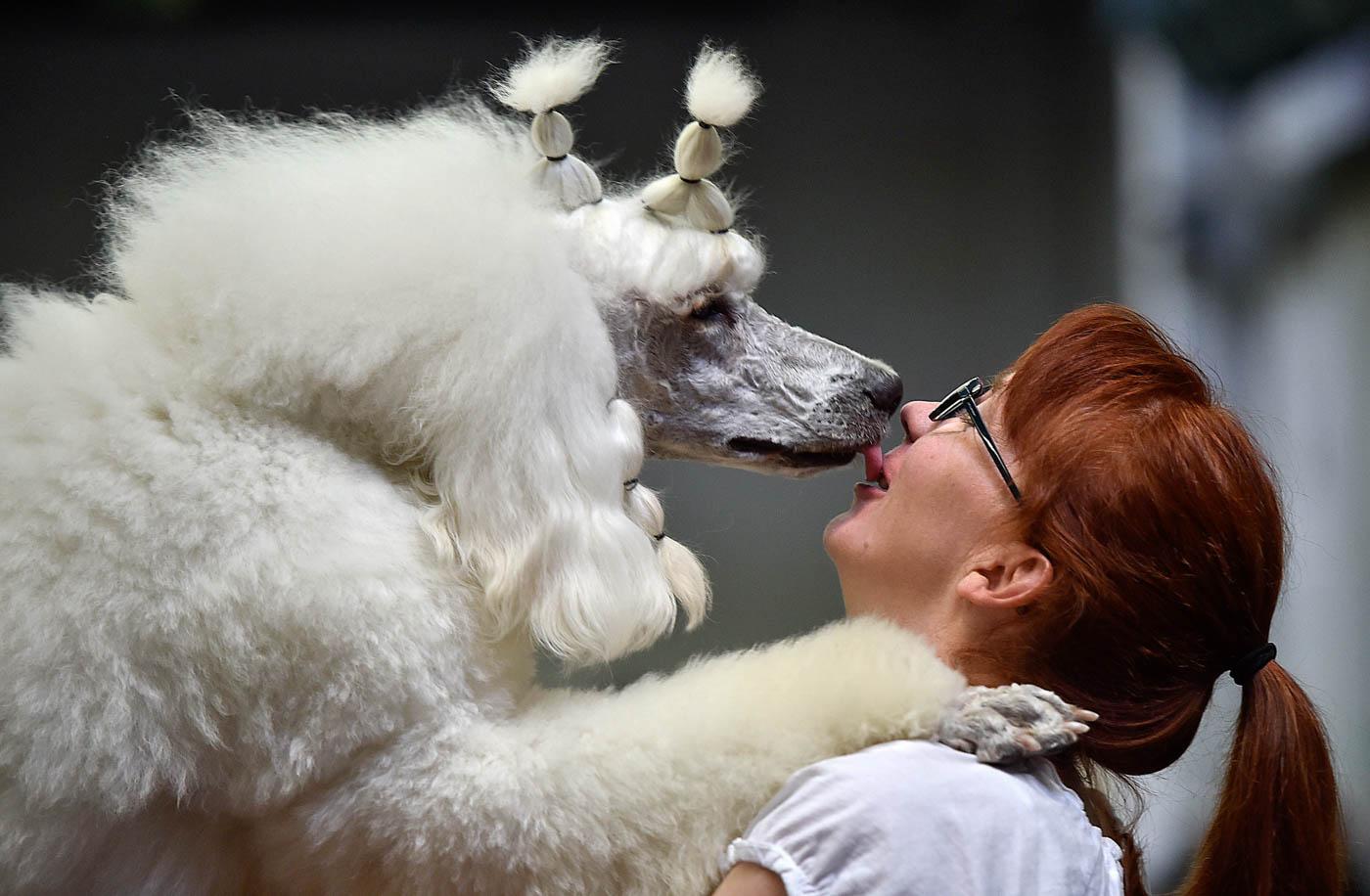 En Alemania, este Poodle Farinelli besa su dueña durante un show de perros