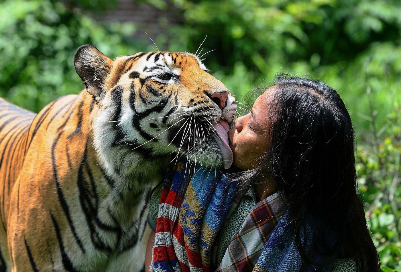 Mulan Jamila, un tigre de bengala de 6 años, besa a su cuidadora en Malang, Indonesia