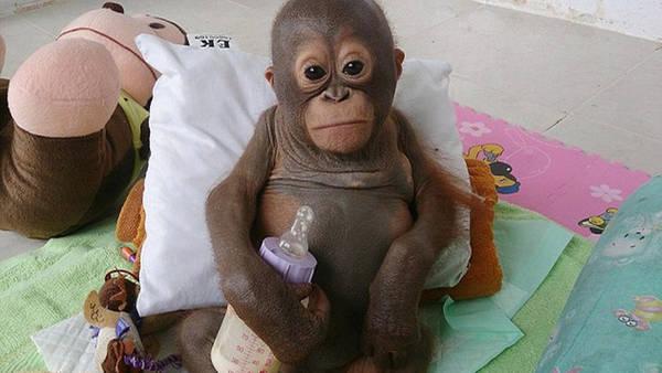 Budi-orangutan 1