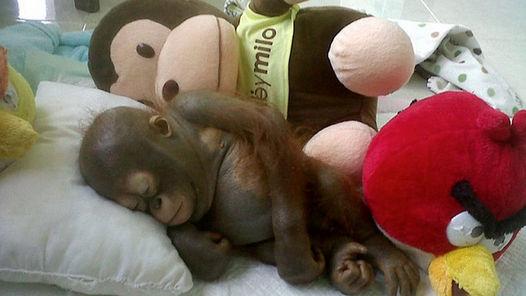 Budi-orangutan 2