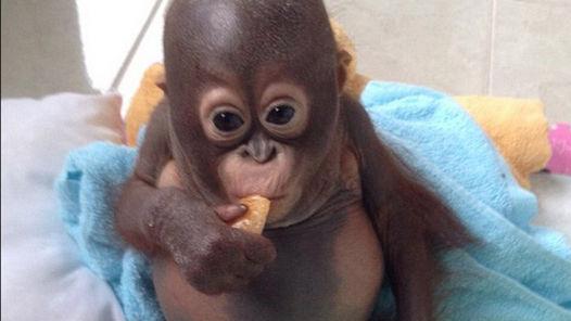 Budi-orangutan 3