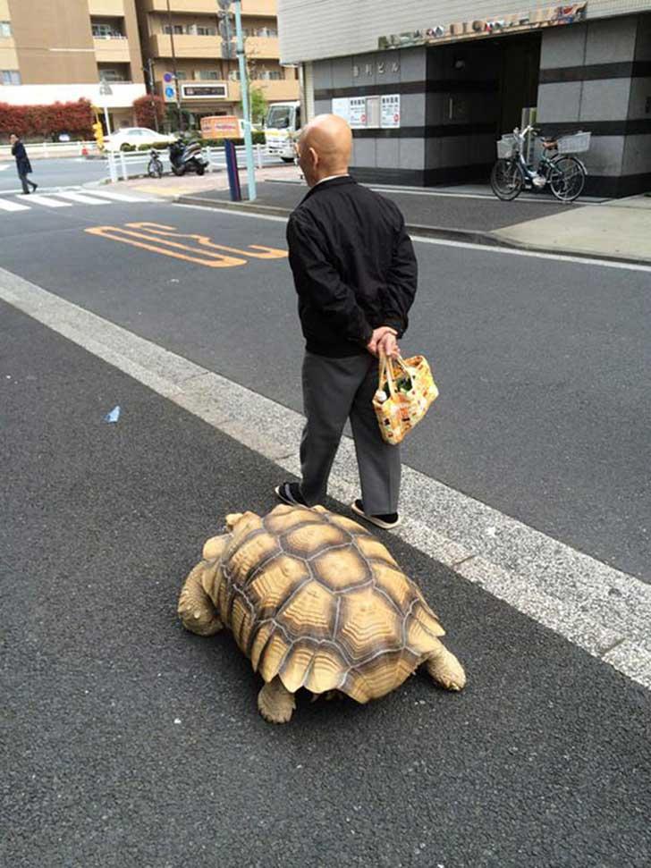 japonés-tortuga