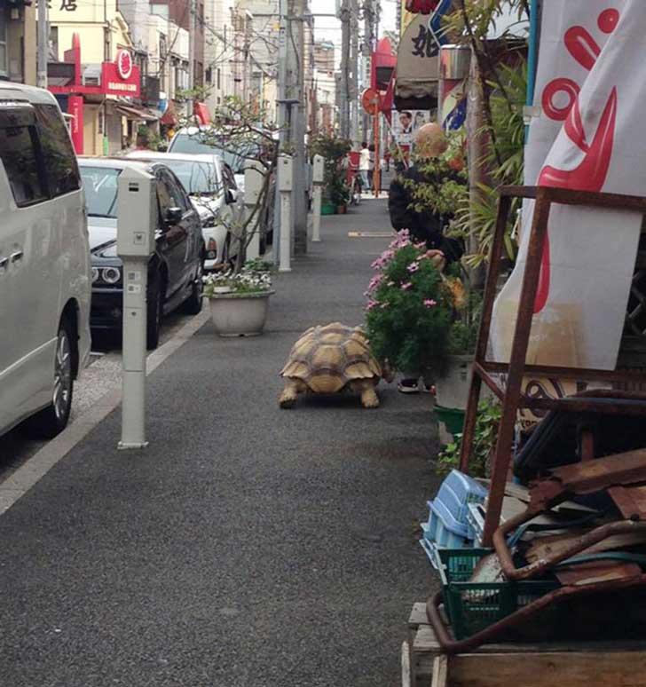 japonés-tortuga1