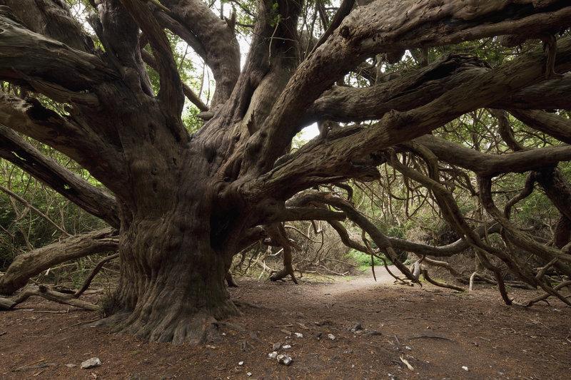 bosques-misteriosos-del-mundo-tejo-milenario