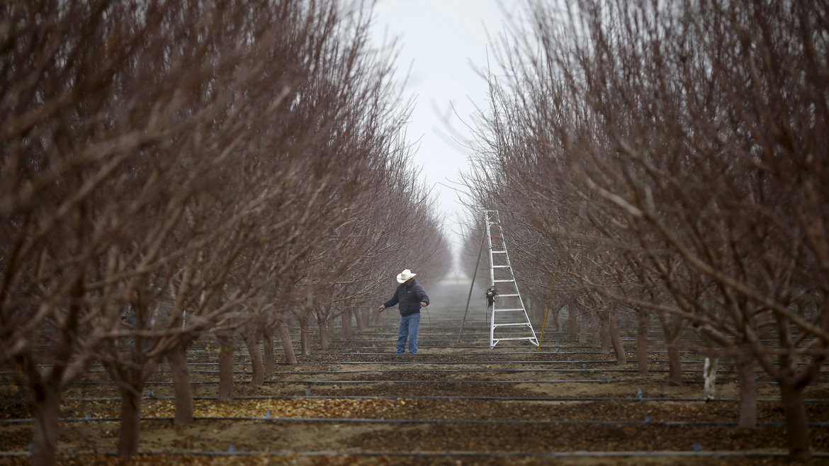 File photo of worker pruning trees in an orchard near Bakersfield, California
