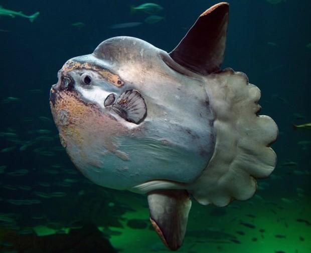 Mola Mol