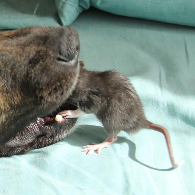 Osiris Riff rat (4)