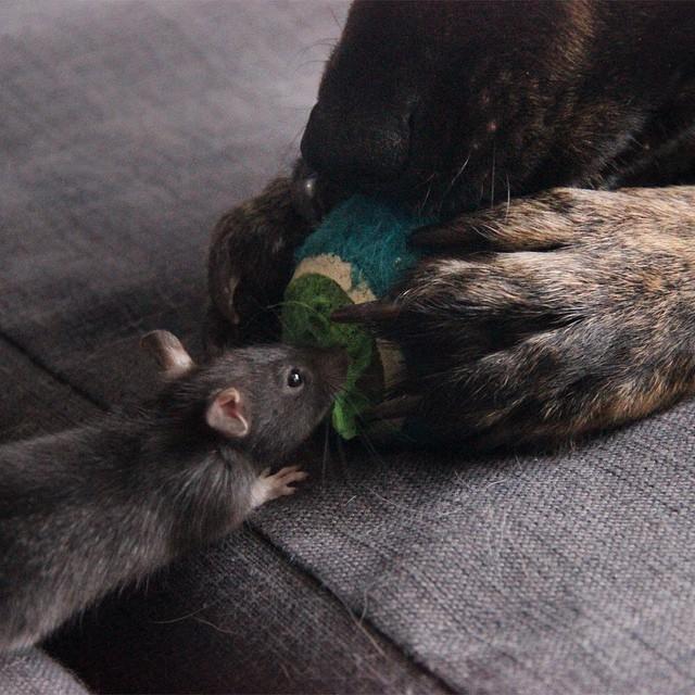 Osiris Riff rat (6)