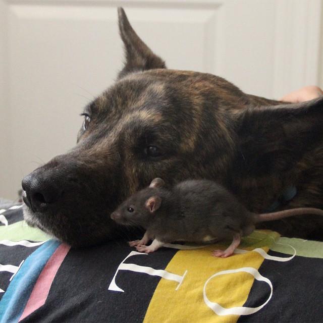Osiris Riff rat (7)