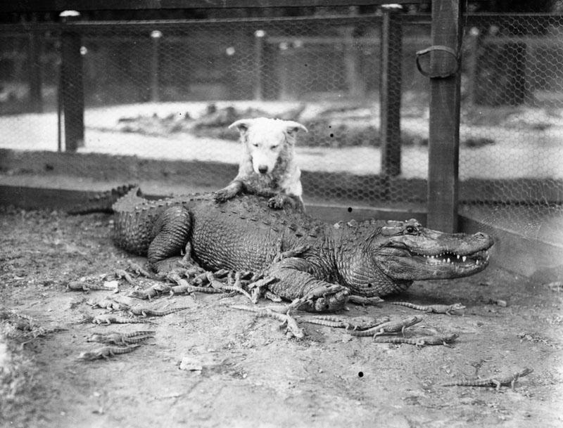 cocodrilo zoologico (5)