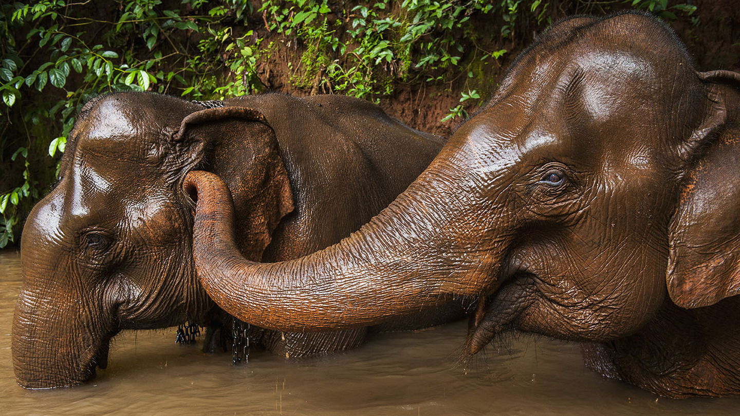 An elephant tickles another elephant's ear while in the river bathing; Sen Monorom, Mondulkiri, Cambodia