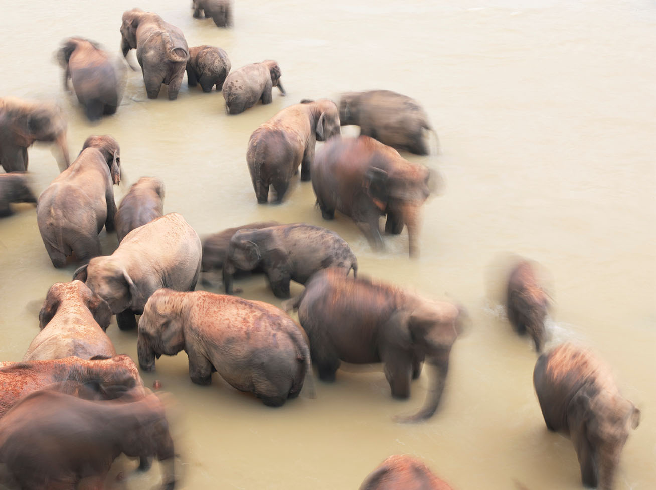 Elephant herd bathing in the river at the Pinnawela Elephant Orphanage, Kegalle, Sri Lanka