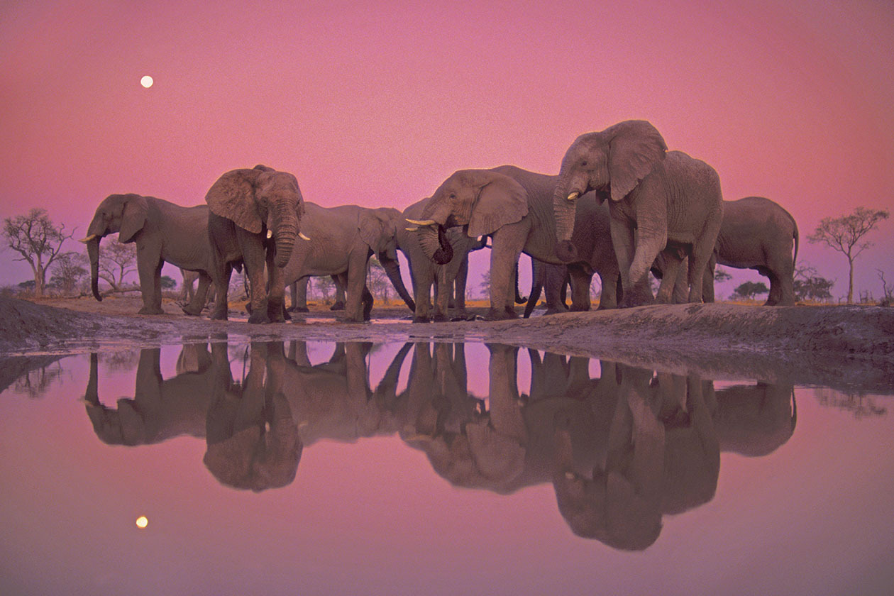 African Elephants at Twilight