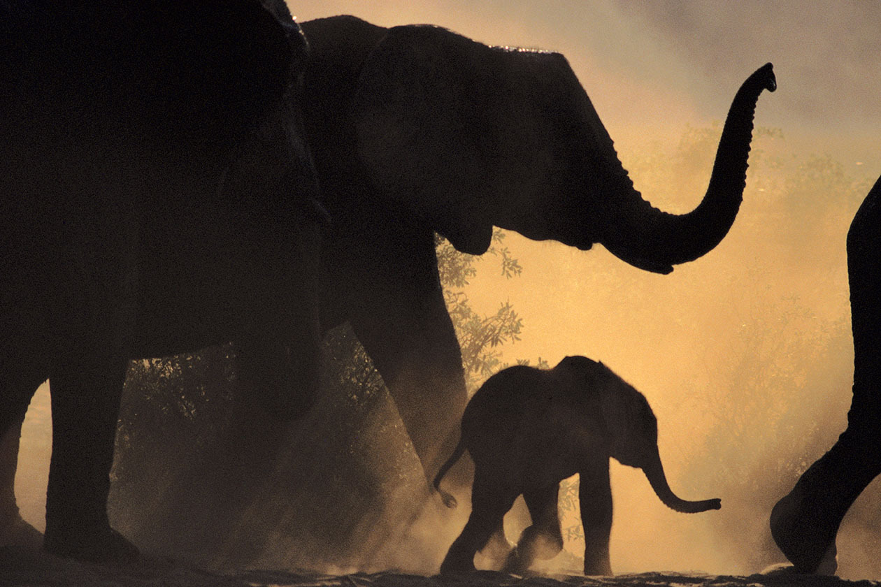 African Elephant and Young