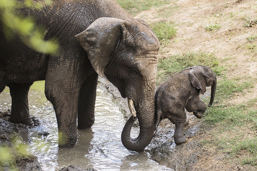 Three-day old elephant baby in the Nyiregyhaza Animal Park