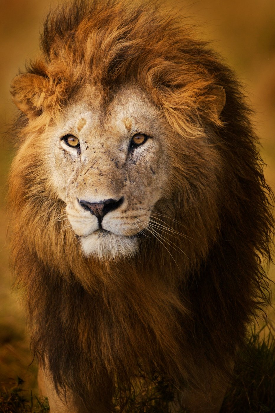 THe most beautiful full mained male lions are found in the Massai Mara, Kenya