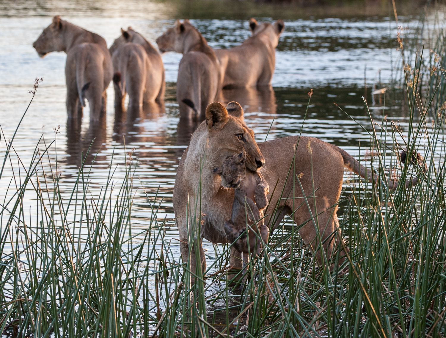 Lion pride and cubs in the Savute Channel (Selinda / DumaTau pri