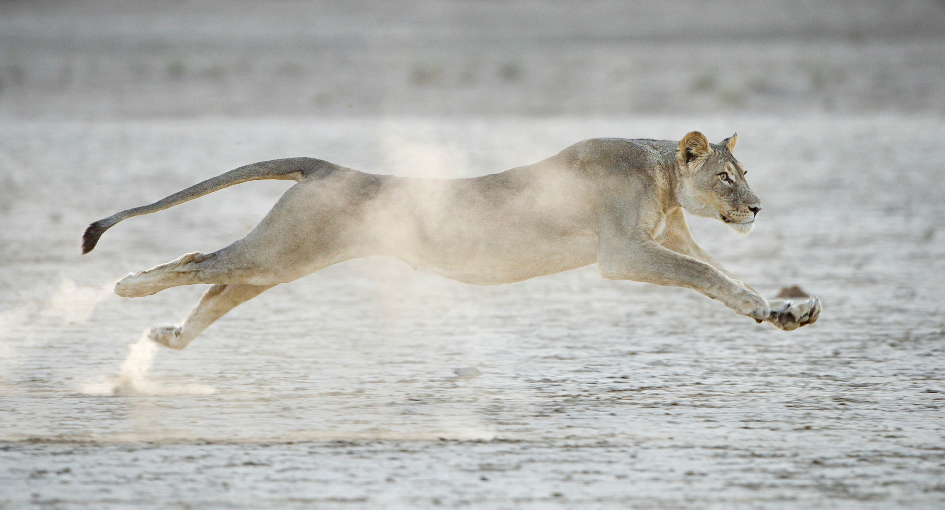 Lion in Flight