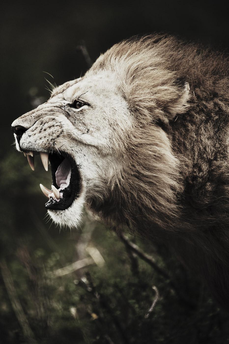African Lion (Panthera leo nubica)