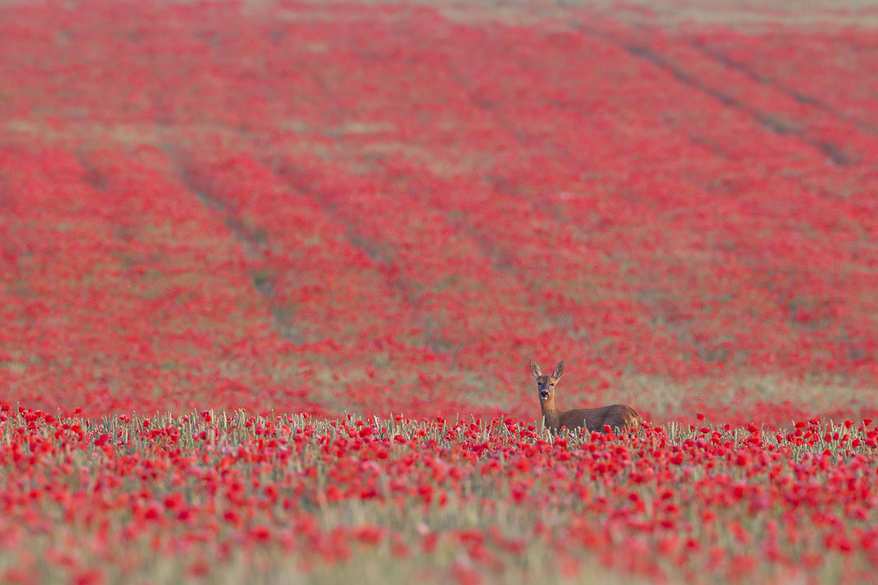 Roe deer Capreolus capreolus female in a poppyfield, Suffolk, Ju