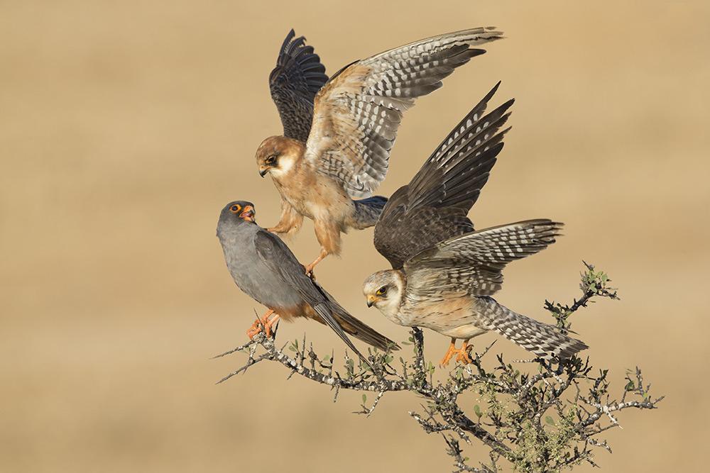amir-ben-dov-birds