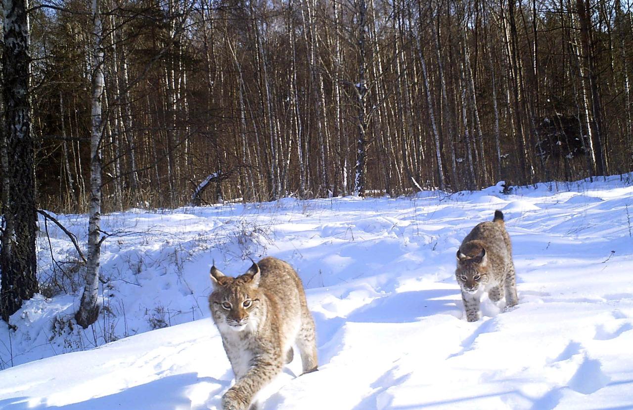 Fauna en Chernobil 3