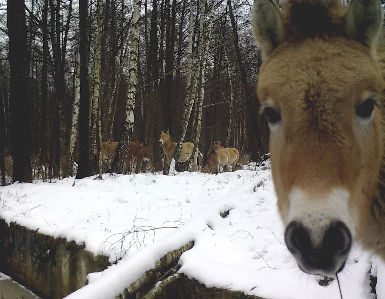 Fauna en Chernobil 4