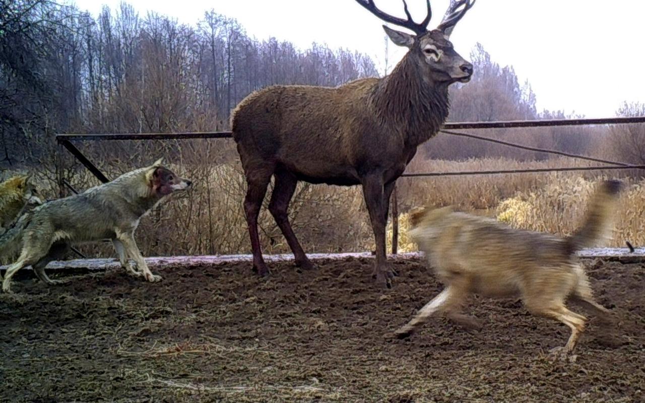 Fauna en Chernobil 5