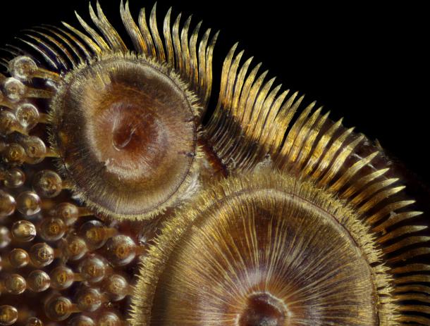Ventosas de un escarabajo buceador. Frank Reiser