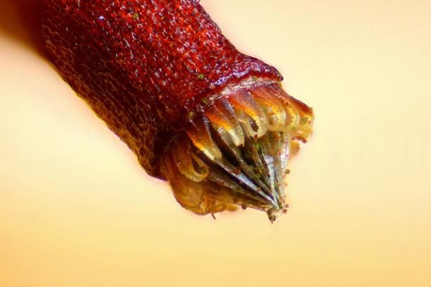 Capsula de esporas de un musgo. Henri Koskinen