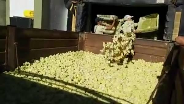 Trituradora de pollitos