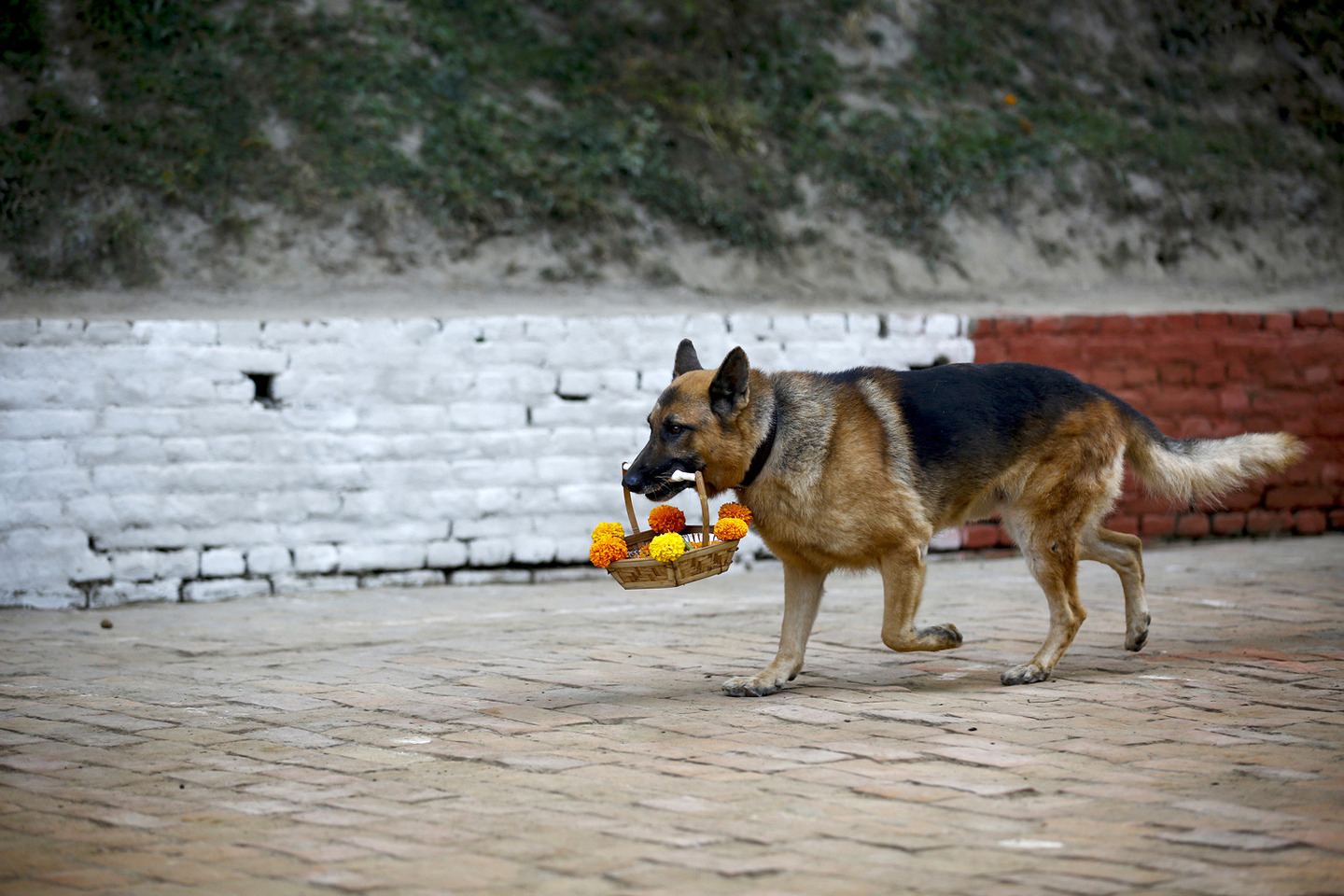 Tihar Dog Festival In Nepal 2015