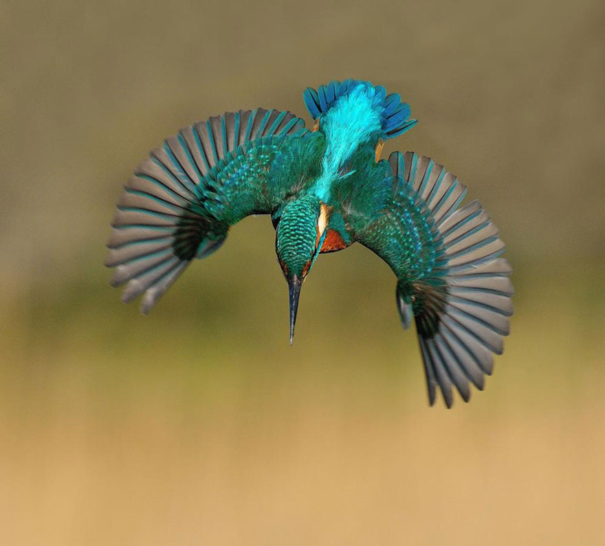 perfect-kingfisher-dive-photo-wildlife-photography-alan-mcfayden-30