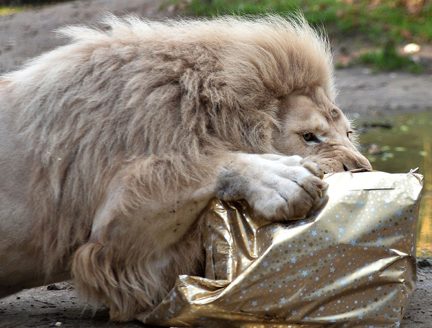 FRANCE-ANIMALS-ZOO-CHRISTMAS-WHITE-LION-FEATURE