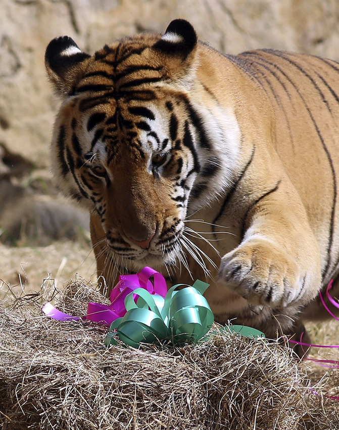 Christmas surprise for animals at Cali zoo