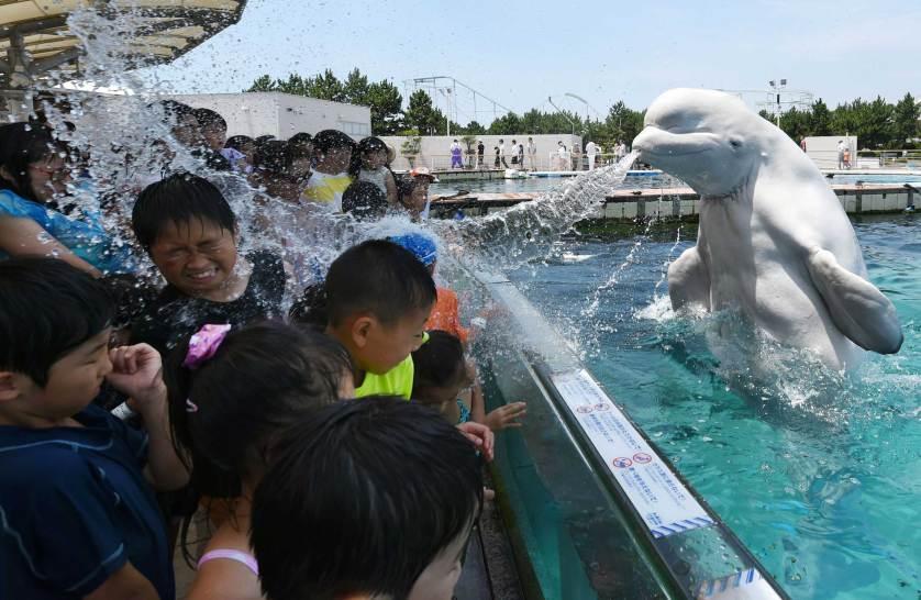 Una beluga moja a los espectadores en el acuario Hakkeijima Sea Paradise aquarium- Yokohama, Tokyo.